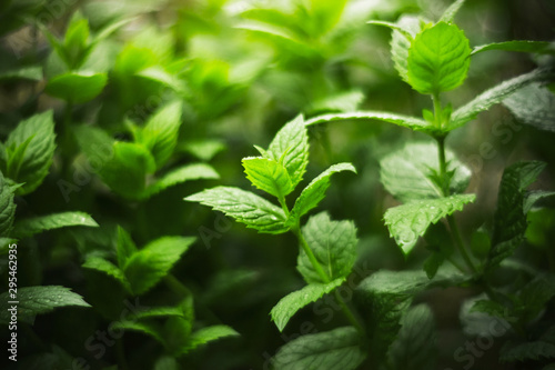 Obraz Thickets of fragrant fresh mint, covered with dew drops and illuminated by a dim light. - fototapety do salonu