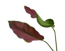 Calathea Ornata (Pin-stripe Ca...
