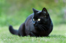Black Cat Lying On The Grass In The Garden