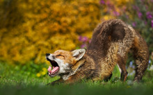 Close Up Of A Red Fox Yawning