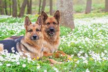 Beautiful German Shepherd Dogs
