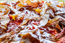 Bright Colored Autumn Leaves Covered With A Thin Layer Of Snow