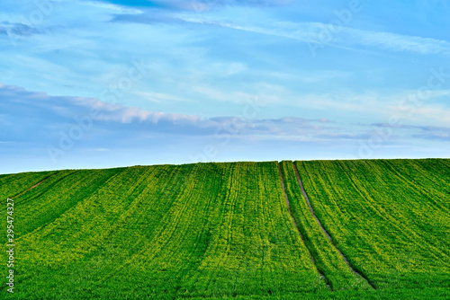 Spoed Fotobehang Groene agricultural landscape of the hilly field with green shoots of plants against the background of the blue sky