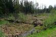 wiedervernässtes Moorgebiet in Białowieża, Nordostpolen - rewetted bog area in Białowieża, north-eastern Poland
