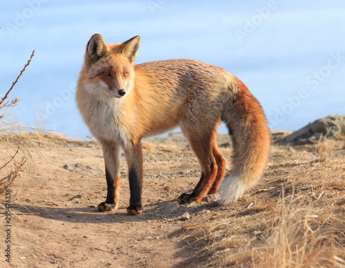 Valokuva Portrait of a fox (Vulpes vulpes) on a footpath against a blue sky