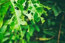 Close Up Eaten Leaves In Dark ...