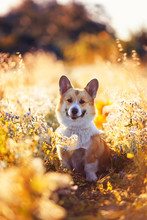 Portrait Funny Cute Puppy Dog A Red Headed Corgi Sits On A Summer Meadow And Smiles Contentedly Against A Background Bathed In The Golden Light Of The Setting Sun Flowers And Grass