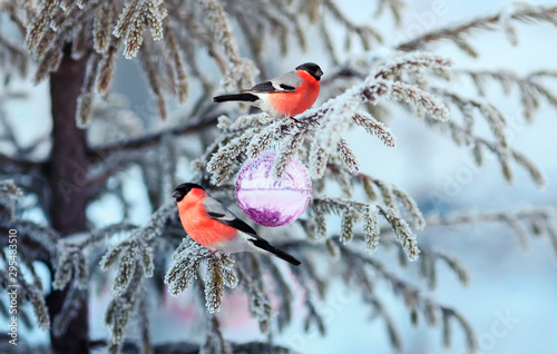 Fotografía beautiful postcard with two birds a red plump bullfinch sitting on a spruce bran