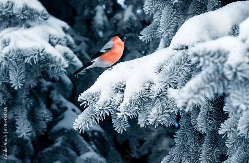 Fotografiet bird a red bullfinch sits on the branches of a spruce tree covered with frost in