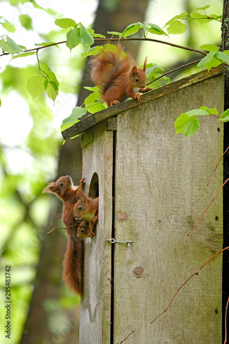 Printed kitchen splashbacks Squirrel junge Eichhörnchen (Sciurus vulgaris) an ihrem Brutkasten - Red squirrel
