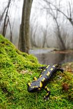 Fire Salamander (Salamandra Salamandra) Wide Angle Shot