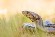 Ladder Snake (Zamenis Scalaris...