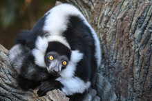 Ring Tailed Lemur Sitting On A Tree Branch