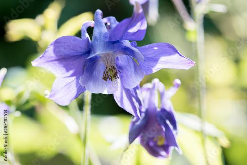 Cuadros en Lienzo Akelei Blüte filigran im Gegenlicht als Makro