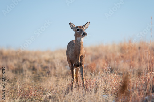 Foto op Canvas Hert White-tailed deer in Denver, Colorado