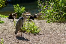 London Parks Great Blue Heron