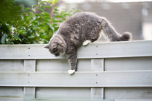 Young Blue Tabby Maine Coon Cat Walking On Fence Balancing Outdoors In The Back Yard Climbing Down