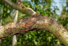 Diseased Affected Branches Of ...