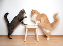 Two Cats Armwrestling Fight Battle. Side View Of Two Cats Facing Each Other On A Wooden Stool In Front Of White Wall. One Cat Is Raising It's Paw