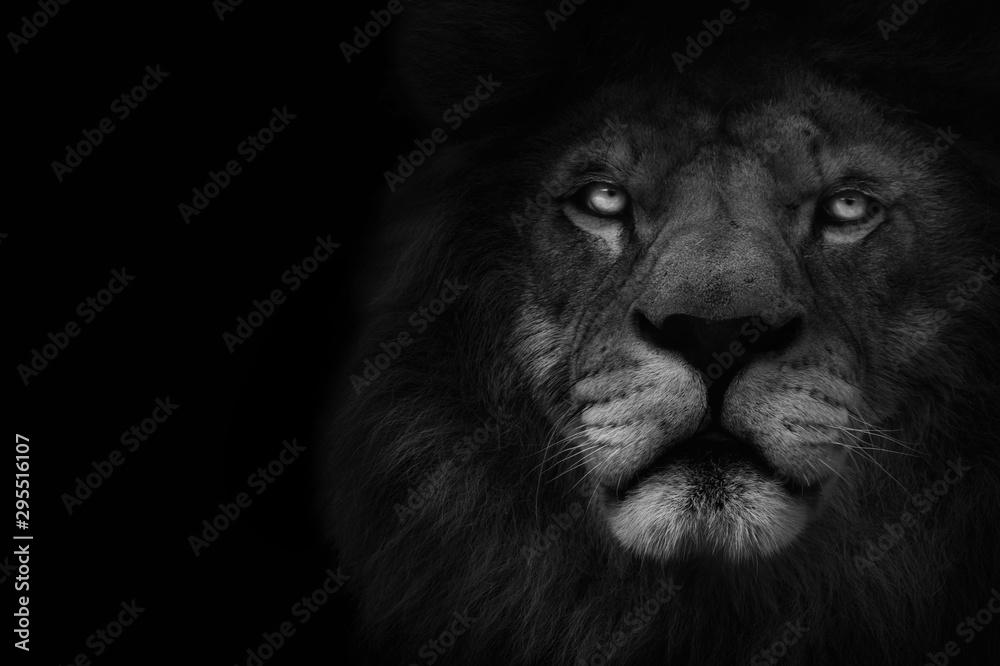 Fototapeta Dark lion