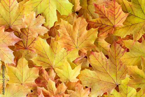 Yellow maple leaves with red veins as a fall nature background