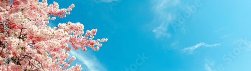cherry-blossom-tree-in-springtime-with-blue-sky-panorama-or-banner-size
