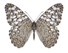 Butterfly Hamadryas Februa On A White Background