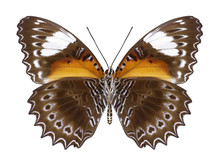 Butterfly Cethosia Chrysippe (...