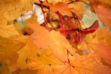 Yellow, Orange And Red Maple L...