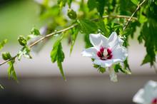 Malvaceae - Ibisco