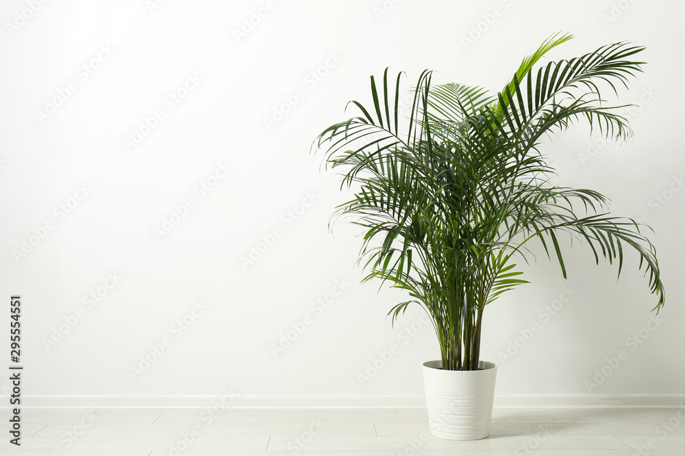 Fototapeta Tropical plant with lush leaves on floor near white wall. Space for text