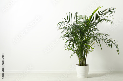 Obraz Tropical plant with lush leaves on floor near white wall. Space for text - fototapety do salonu