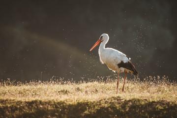 stork in nature