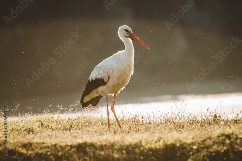 Photo stork in habitat