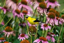 Male American Goldfinch On Purple Coneflowers