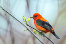 Male Scarlet Tanager In Breeding Plumage.Oak Harbor.Magee Marsh Wildlife Area.Ohio.USA