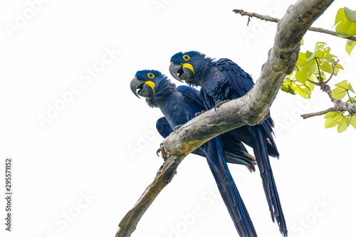 Tuinposter Papegaai Low angle view of a couple of Hyacinth Macaws perching on a tree branch against bright sky, Pantanal Wetlands, Mato Grosso, Brazil