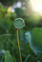 Lotus Seeds That Can Be Eaten ...