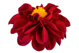 Fototapeta Kwiaty - Dahlia flower, Red dahlia flower with yellow pollen isolated on white background, with clipping path