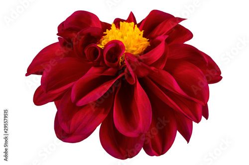 Canvas Prints Dahlia Dahlia flower, Red dahlia flower with yellow pollen isolated on white background, with clipping path