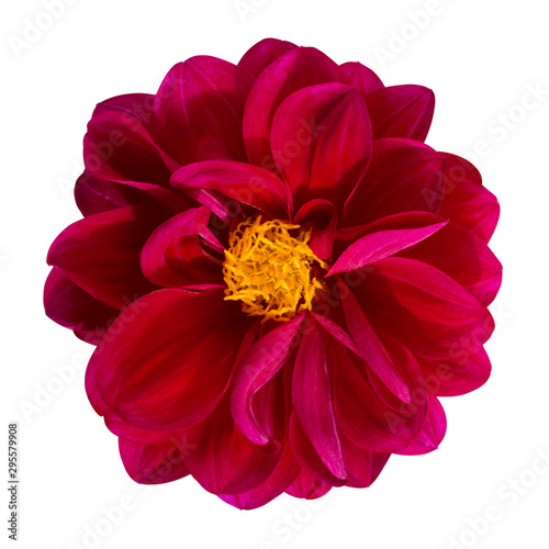 Poster de jardin Dahlia Dahlia flower, Red dahlia flower with yellow pollen isolated on white background, with clipping path
