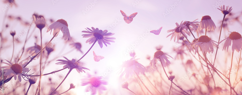 Fototapeta Marguerite daisies with butterflies on meadow at sunset. Spring flower.