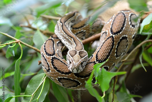Pinturas sobre lienzo  Russell's viper ( Daboia russelii ) on branch of tree