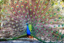 Peacock With Feathers Fanned I...