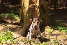 Cute Jack Russell Terrier Hunting Dog Is Looking Out Of A Cave