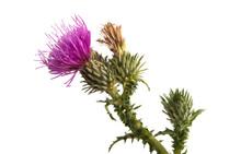 Burdock Flower Isolated