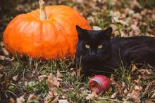 Black Cat With A Pumpkin, Pets Concept