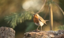 Closeup Focused Shot Of European Robin Bird Standing On A Rock