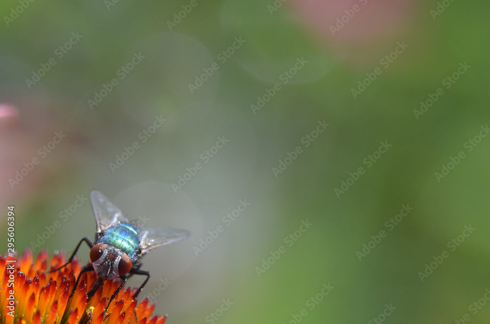 Fototapeta Fliege auf Blüte der Echinacea