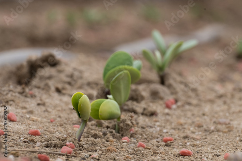Canvas-taulu Soybean sprouts just emerging showinf off their cotyledon leaves during June in Raleigh, North Carolina